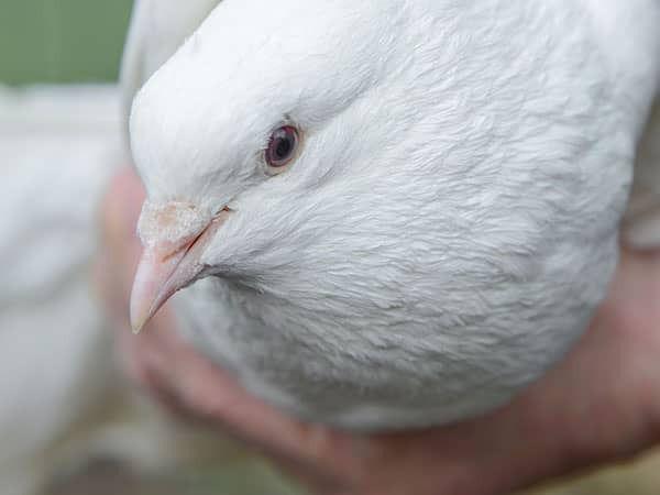 Witte duif bij uitvaart