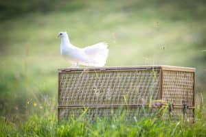 Witte duif op mand