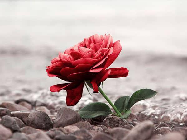 Roos op rouwkaart