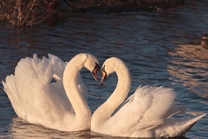 Zwanen vormen een hart