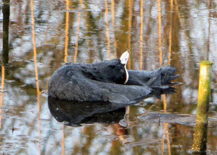 Dode meerkoet drijft sierlijk in het meer