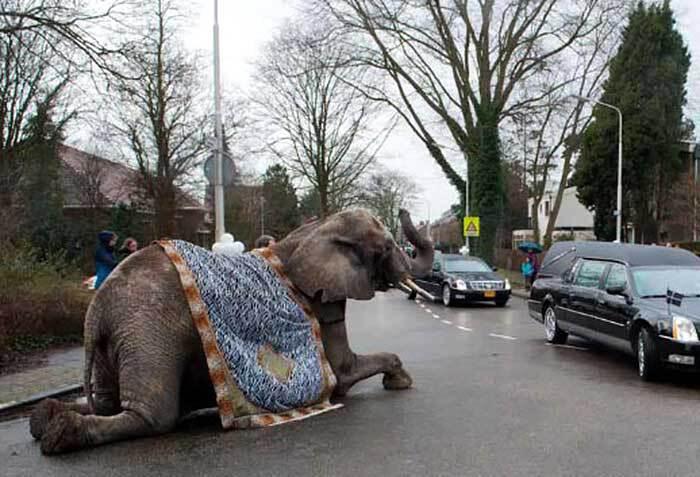 Een olifant bij de uitvaart - Foto: Arjen Vos