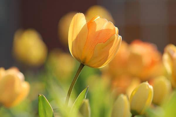 Gele tulp - Van der Putten & Dunweg Uitvaartzorg, Duin- en Bollenstreek